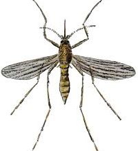 Mosquito - click to find out more